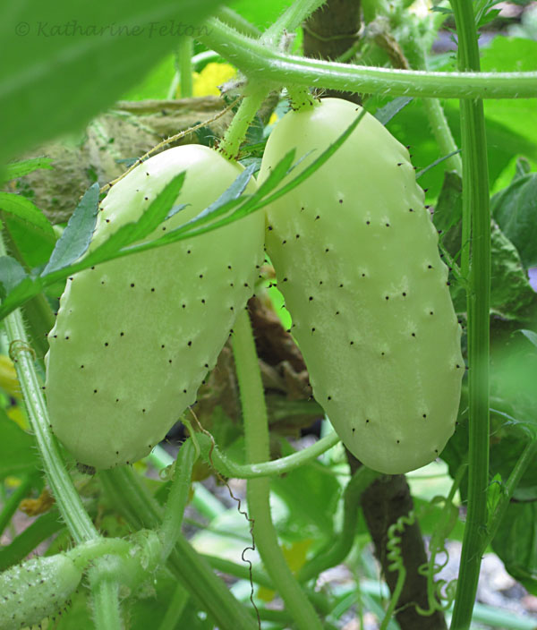 mini white cucumbers