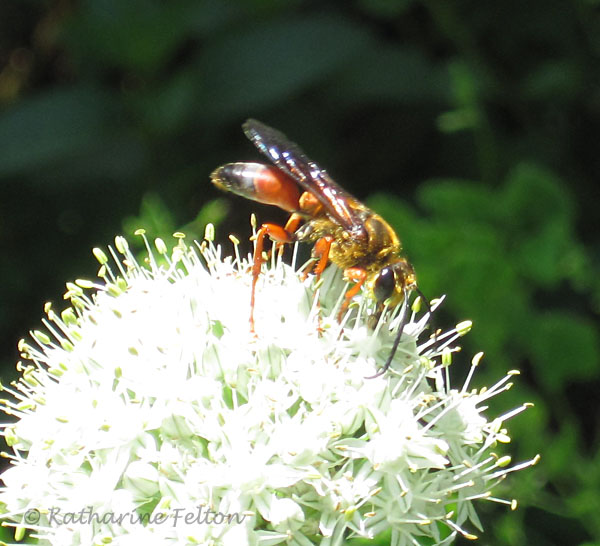 wasp on scallion bloom